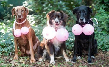 dogs-wearing-balloon-boobs